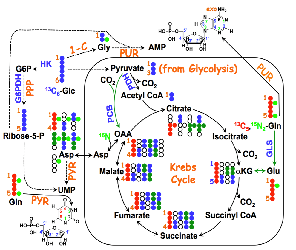 13C15NGln_mononucleotides_service_example.png