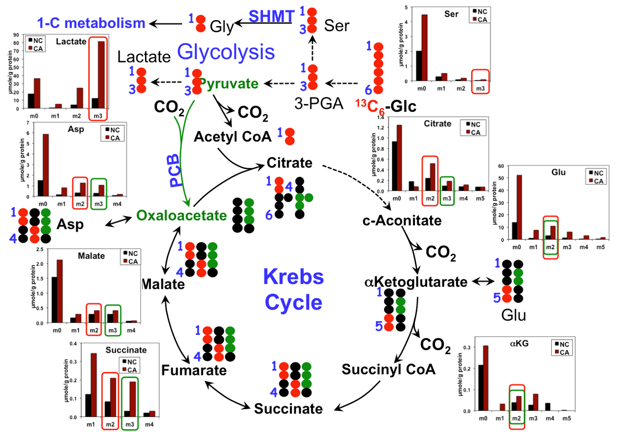 13CGlc_krebs_glycolysis_service_example.png